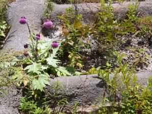 山梨県 フジアザミ・在来種